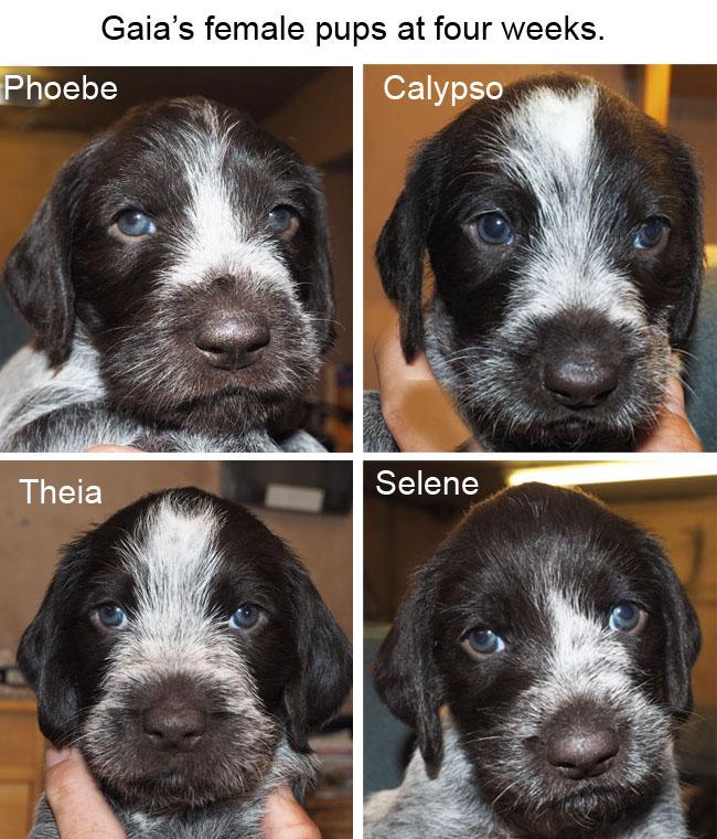 Gaias female pups at four weeks Blog copy