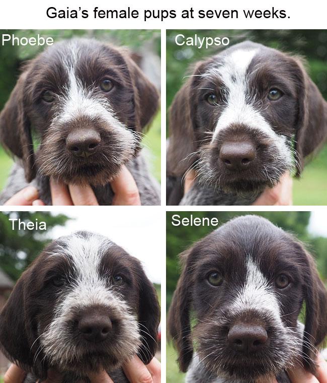 Gaias female pups at seven weeks Blog