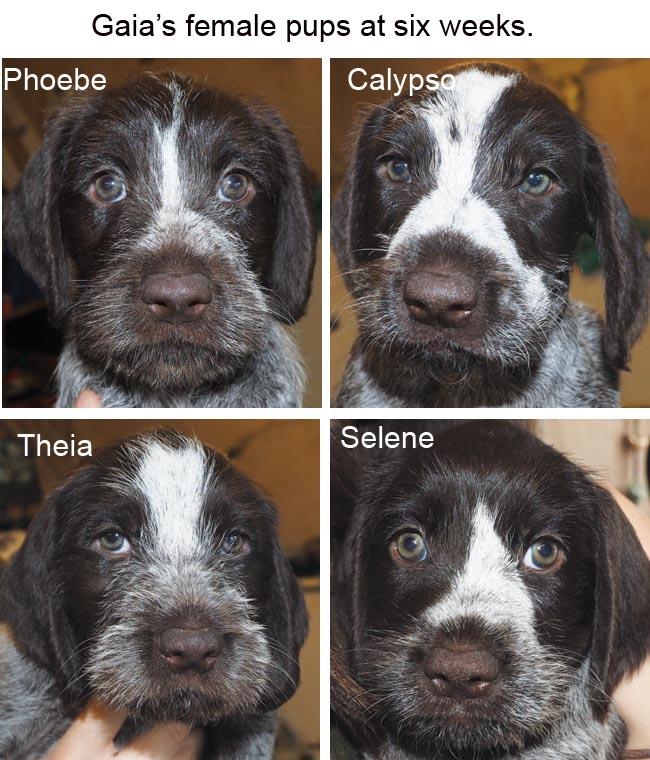 Gaias female pups at six weeks Blog copy