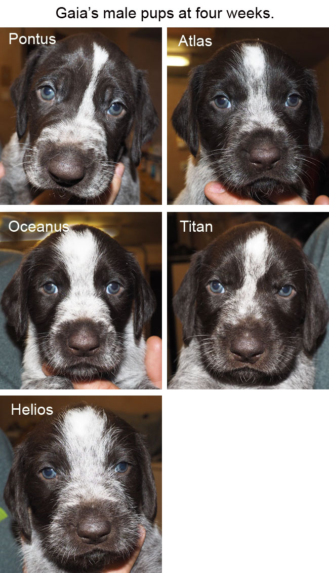 Gaias male pups at four weeks Blog copy
