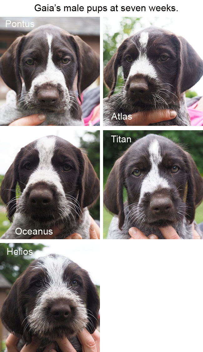 Gaias male pups at seven weeks Blog copy
