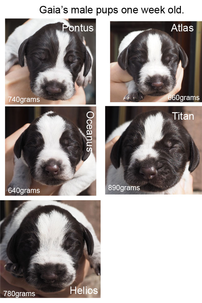 Portraits of Gaias male pups one week old.