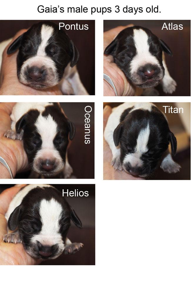 Gaias male pups three days old copyxxxxBlog