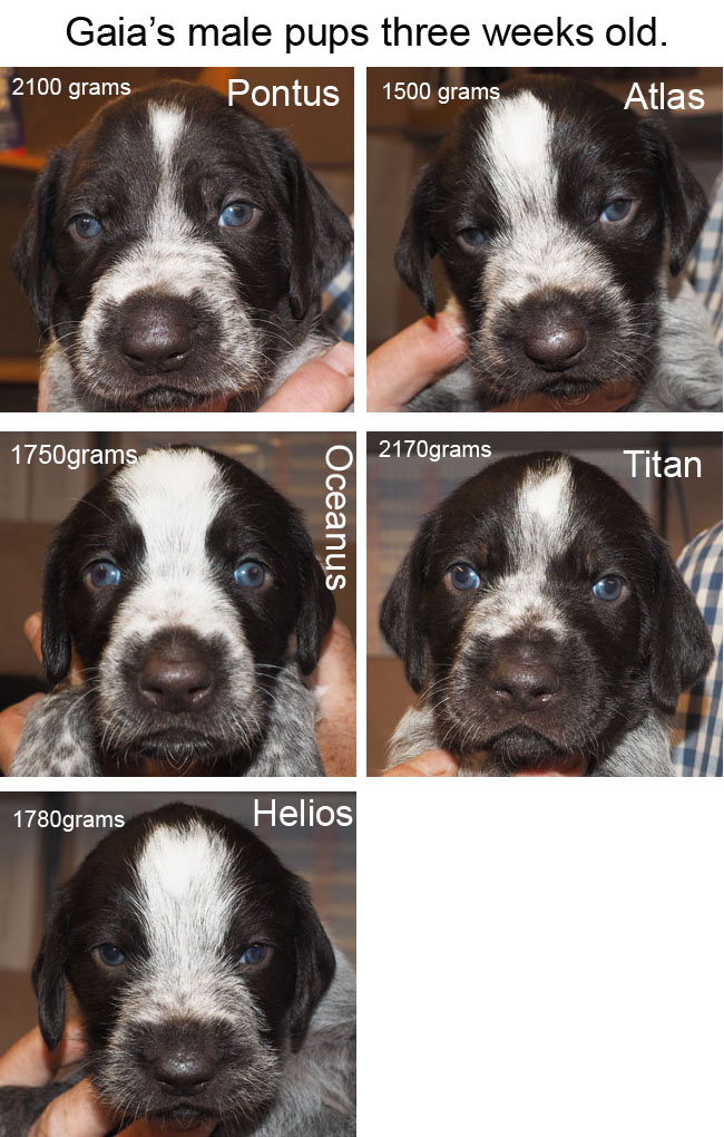 Gaias male pups three weeks old Blog copy