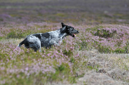 Tippex hunting in the heather