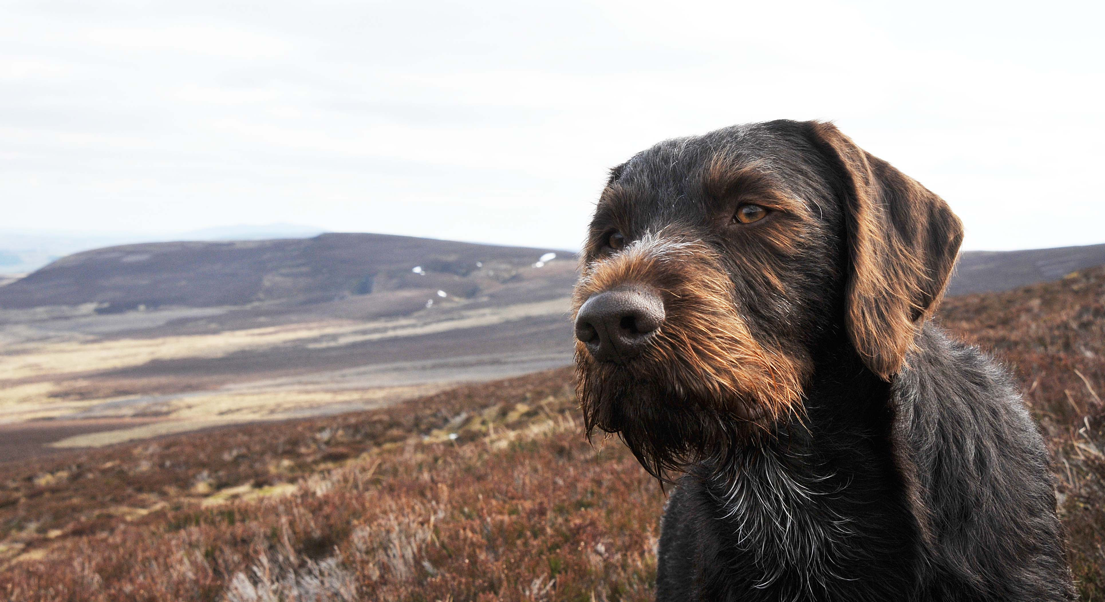 Discussion] Weekend - Breed: German Wirehaired Pointer : dogs