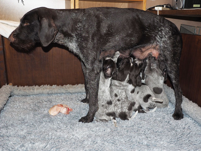 Gaia brught the pups some chicken, but they want milk.