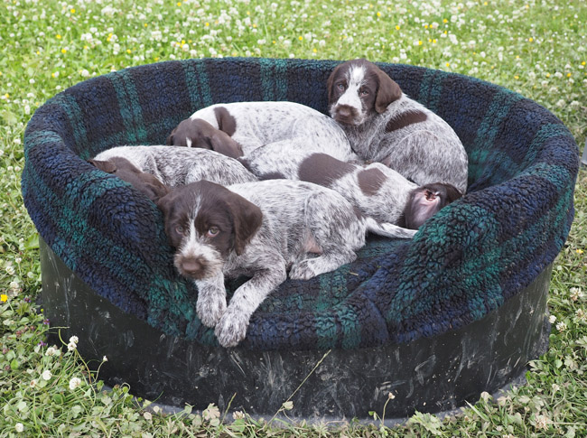 Five pups in the Raised Tuffie bed.