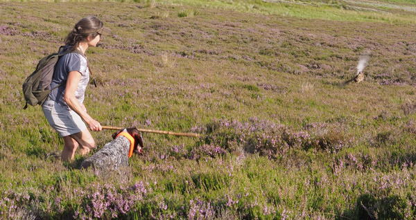 On a brood count it is best to get the birds out of the heather by rumaging with a stick to be as gentle as possible.