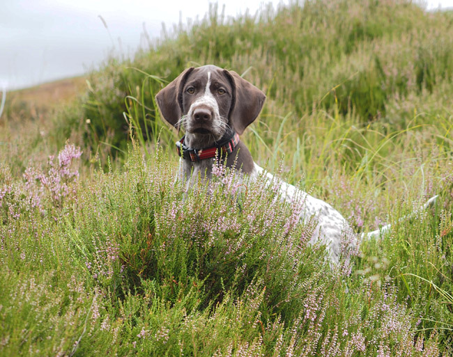 Pontus smelling the heather on the moor.