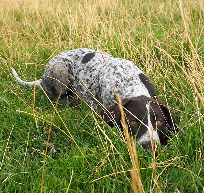 Head down on command. This means he would not be able to see tempting hares etc