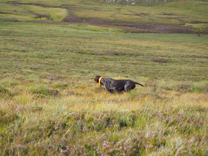 Gaia on solid point on grouse on the moor