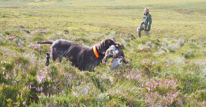 Gaia busy retrieving a grouse