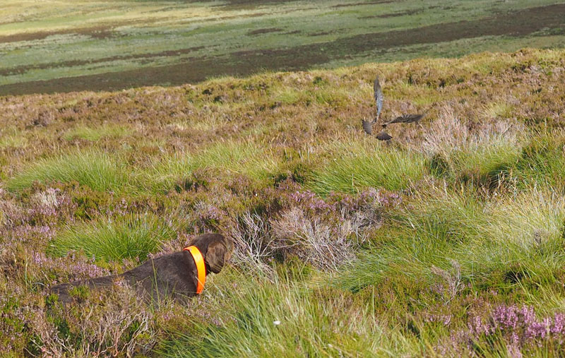 Dog flushes, you can see the grouse flying.