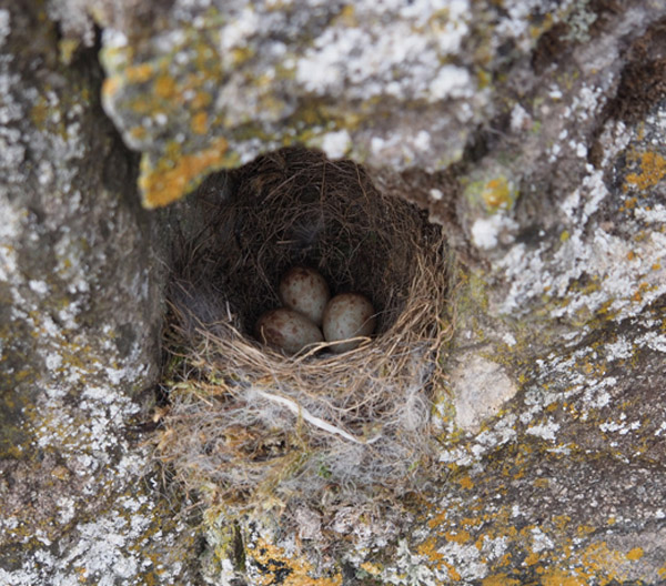 A BEAUTIFUL little nest with three eggs.