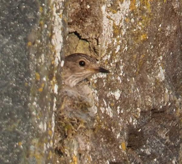 Flycatcher (we think) mum peeking out.
