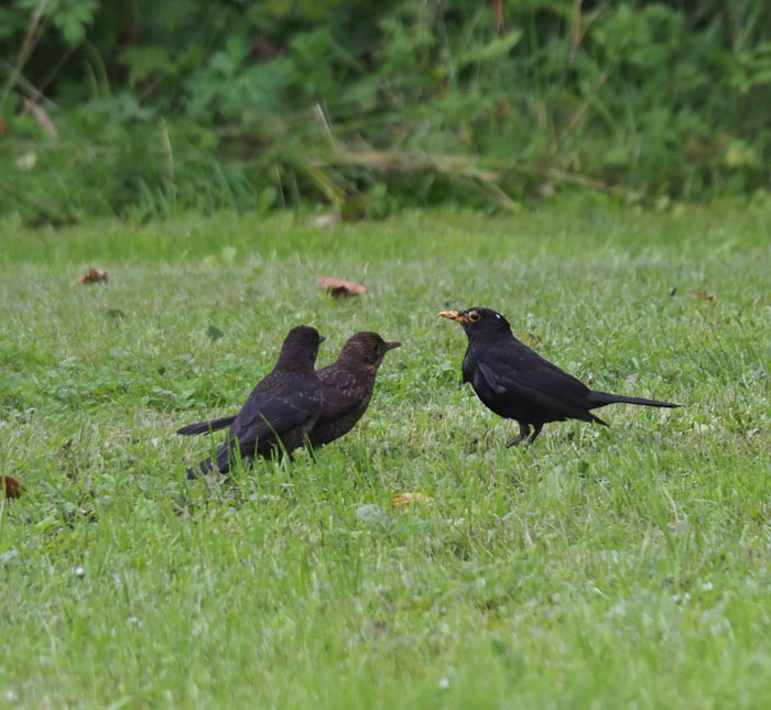 Male blackbird with two grown broods.