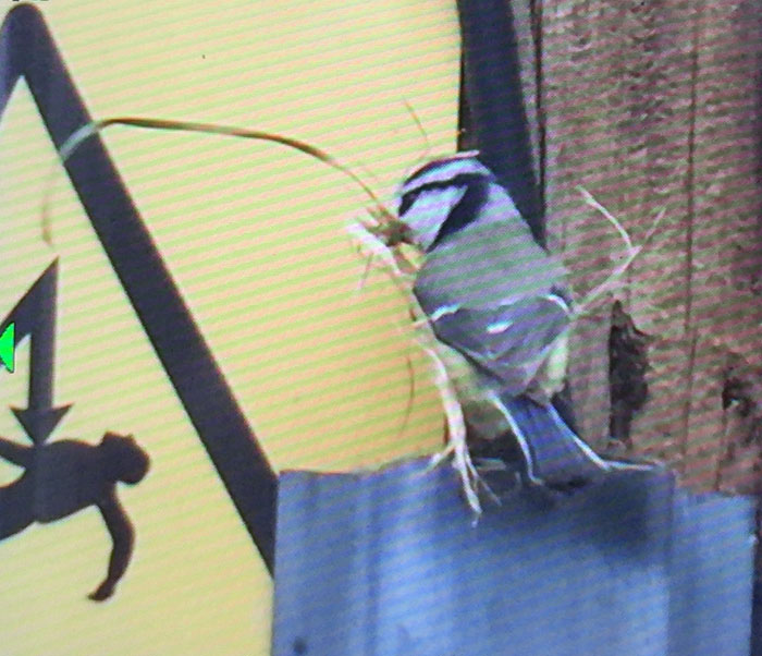 Blue tit with big piece of grass for the nest.