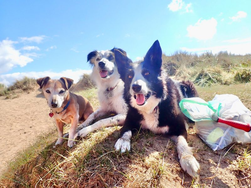 3 Dogs Enjoying Litter Picking in the Dunes (Claire Britten)