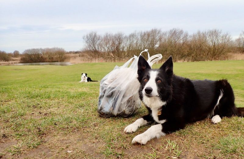 Proud Pair of Collies after Filling Another Bag (Claire Britten)