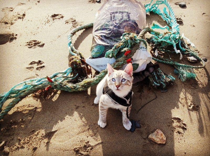 Haku the Cat Litter Picking on the Beach (Constance Morris)