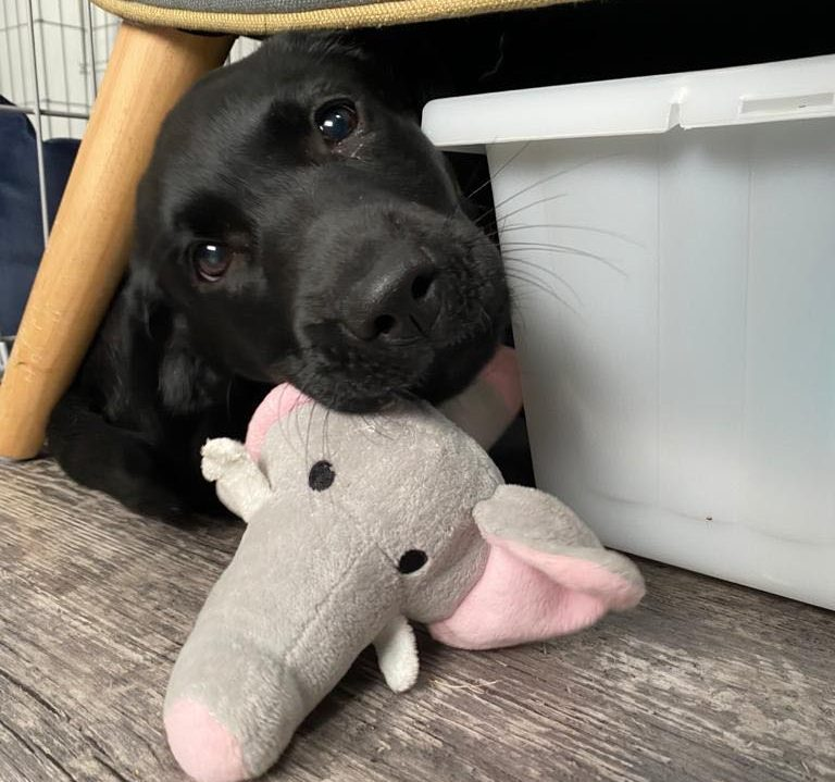 Labrador Dexter with his Elephant Toy