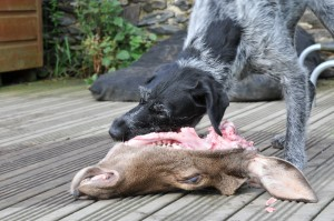 Tippex eating a deer head on the patio