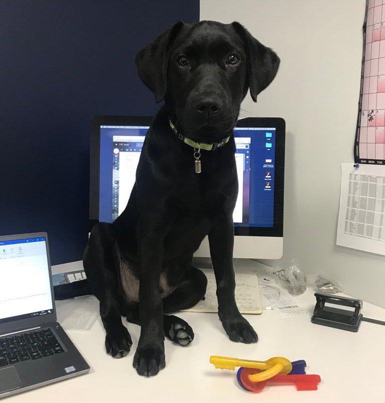 Dexter the Black Labrador on Scotts work desk
