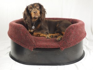 Cocker Spaniel in a medium Raised Tuffie