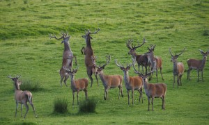 """Stags in velvet, two of them """"boxing""""."""