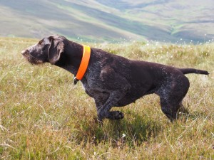 German Wirehaired Pointer, Gaia, on point on grouse