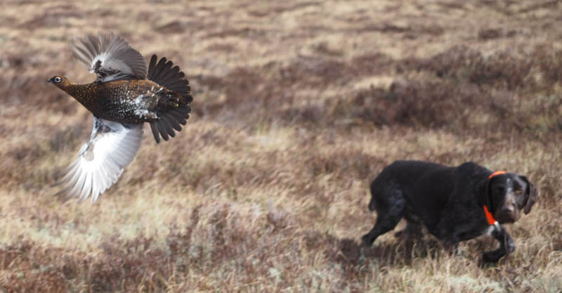 Gaia flushing a grouse.