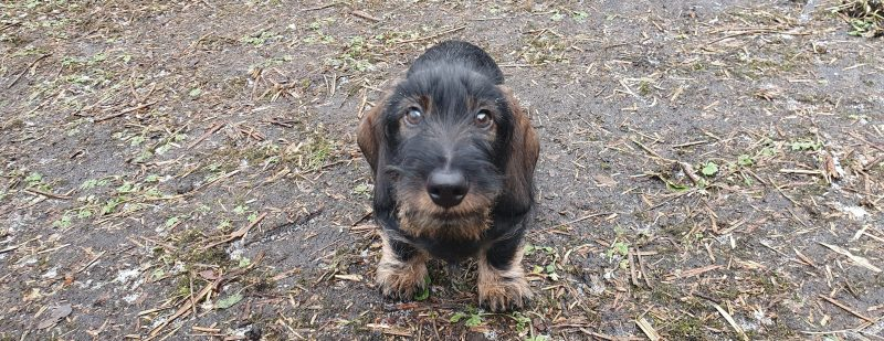 Wirehaired Dachshund looking at camera in the garden