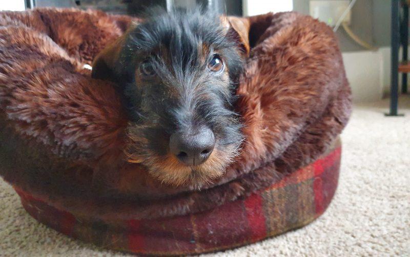 Wirehaired Dachshund in his Mini Wolf Den
