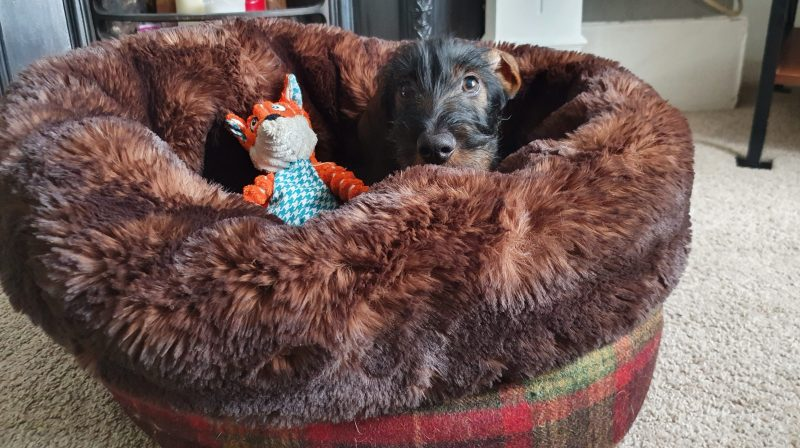 Wirehaired Dachshund in his Mini Wolf Den with his fox toy