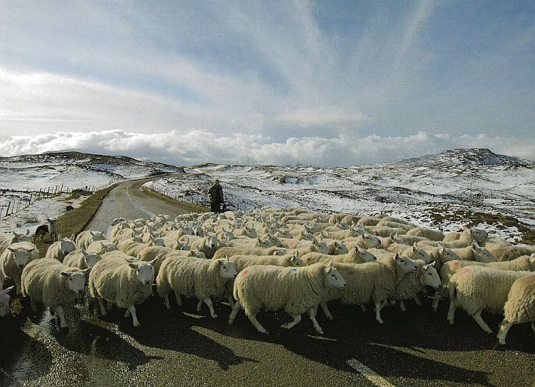 Working the sheep in all weathers.
