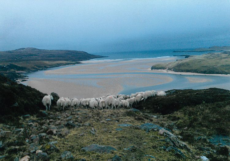 The fabulous Highlands. Sheep on the beach.