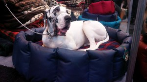 Great Dane in a Wipe Clean Tuffie Nest at Crufts