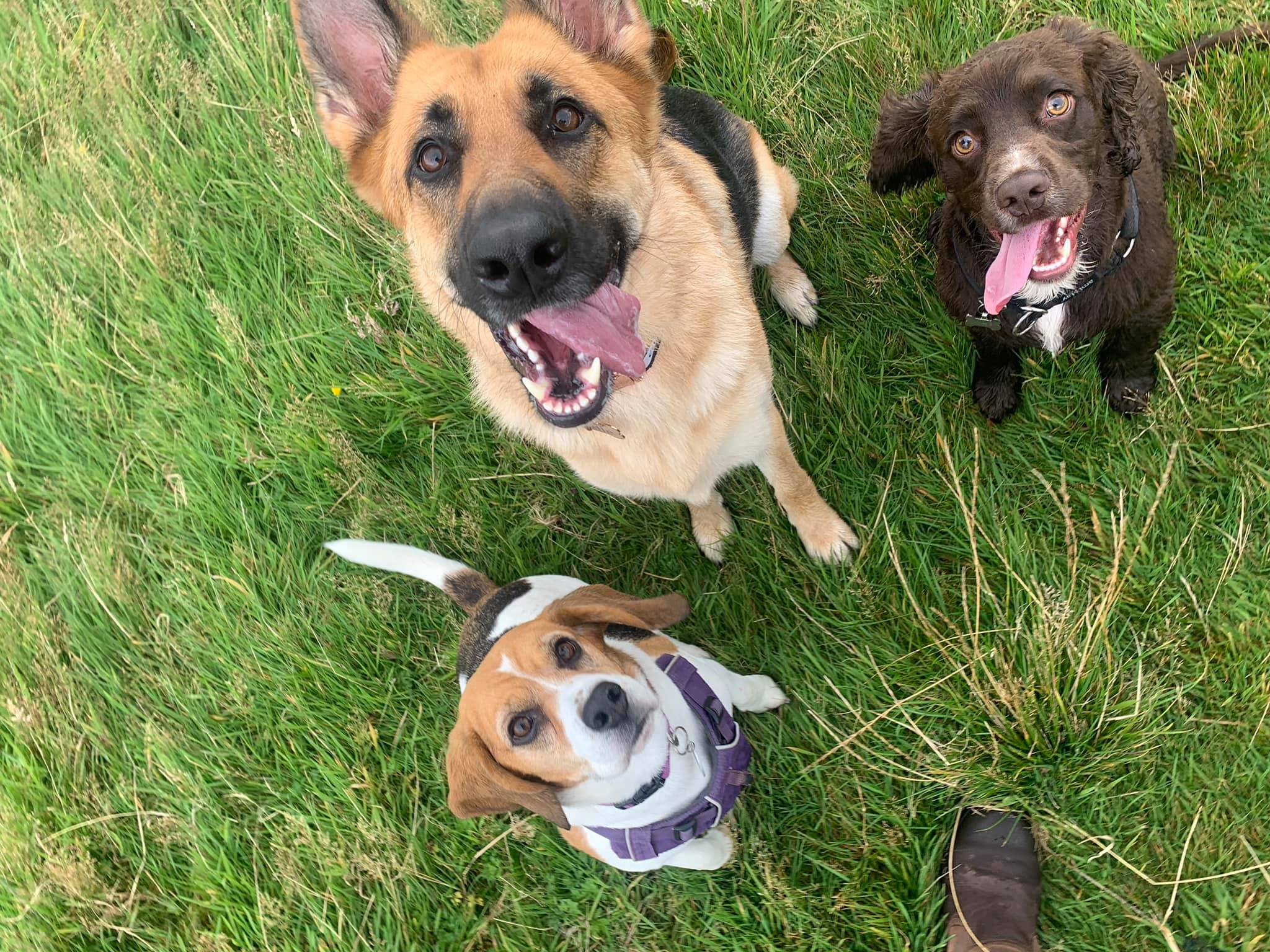 Beagle, German Shepherd and Spaniel in the Field