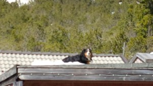 Hairy dog using a snow clad roof as dog bed