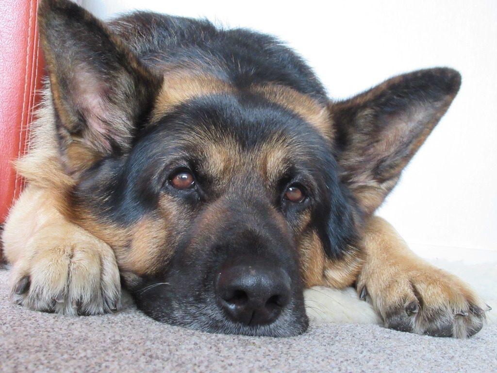 Bruno the German Shepherd contemplating his career