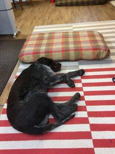 Atlas sleeping beside the dog bed on the floor.