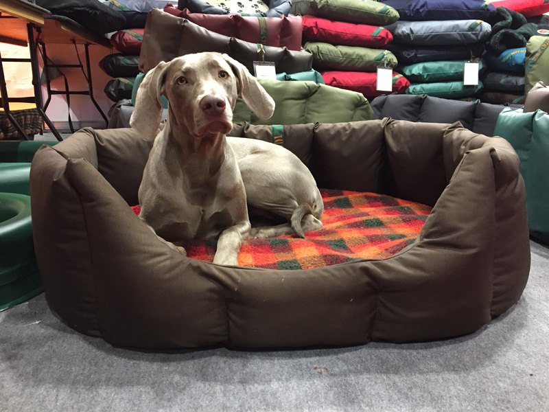 Weimaraner in an XL nest. OK, but a bit too big.