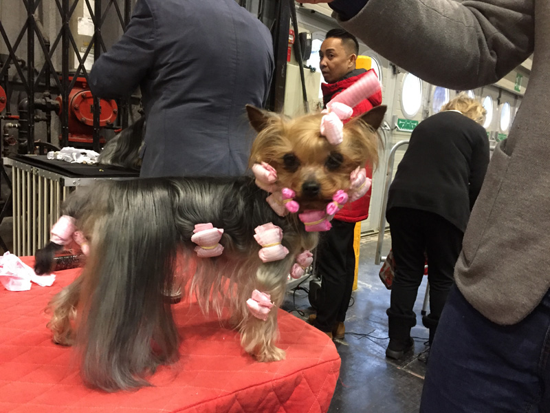 Yorkshire Terrier getting ready.