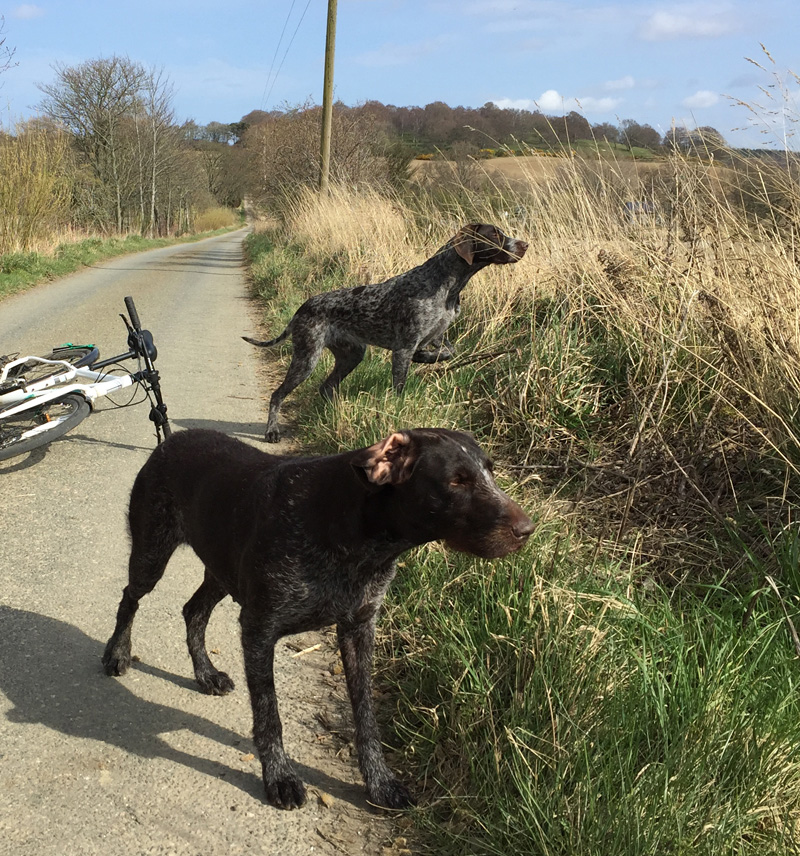 Gaia and Pontus on point. A pheasant was at the side of the field.