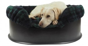 White Labrador in Raised Dog bed with Black Watch liner.