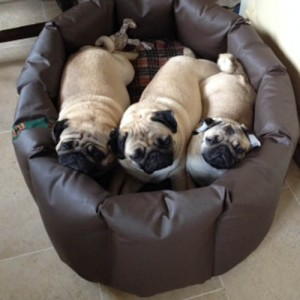Jane Pritchard's three pugs in an XL Wipe Clean nest.