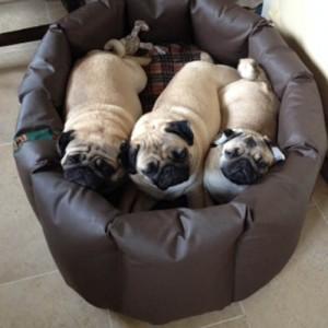 Jane Pritchard's three pugs in an XL Wipe Clean nest.