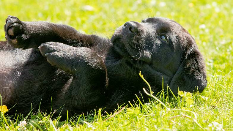 Marley the black lab puppy laying in the grass