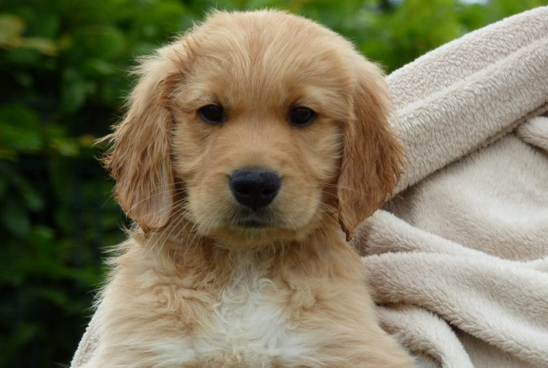 Mitch the golden retriever puppy being held with a blanket